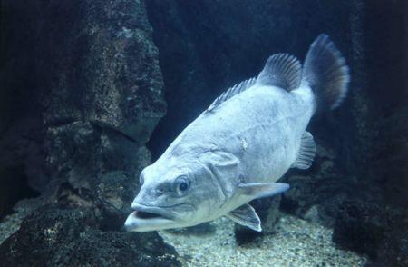Perca-do-Nilo, mais conhecido como Cherne
